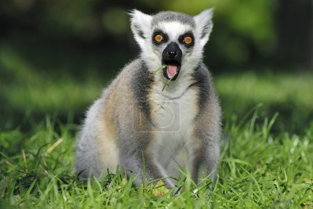Surprised ringtailed lemur gasping