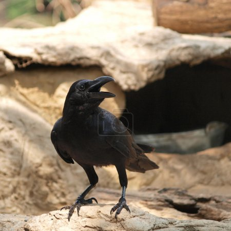 Raven sitting on a stone