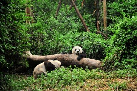 Panda in playing time