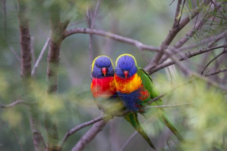 Two beautiful Lorikeet love birds sitting on a branch with a soft focus background