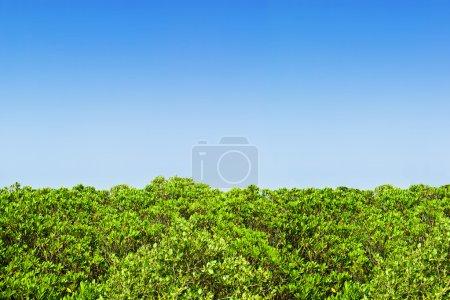 Green hedge blue sky