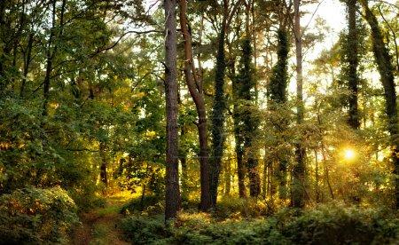 Photo pour Belle forêt sauvage au coucher du soleil avec le soleil qui brille à travers les arbres - image libre de droit