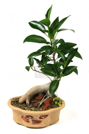 Photo for A bonsai fig tree mounted on a rock. - Royalty Free Image