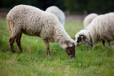 Photo pour Pâturage des moutons sur un champ - image libre de droit