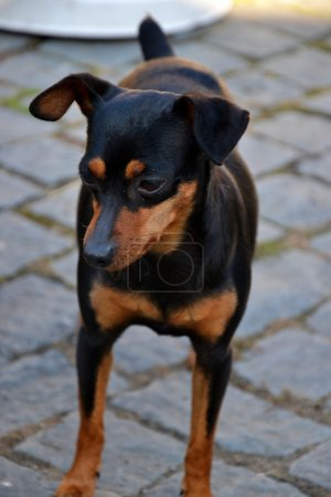 Prague Ratter or Prazsky Krysarik dog