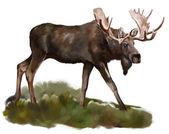 Moose on white background