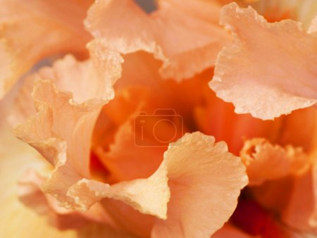 Photo for Pink gentle petals of an iris, flower core - Royalty Free Image