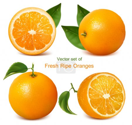 Vector set of fresh ripe oranges with leaves....