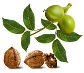 Circassian walnuts with leaves and branch of green walnut