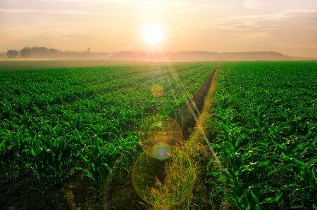 Campo de maíz al amanecer