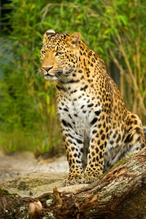 Photo for Leopard sitting on a Rock, watchin out. Bambus Jungle in the Background. - Royalty Free Image