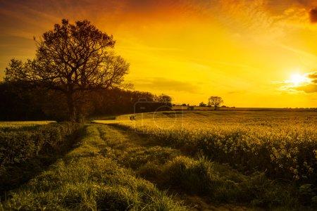 Photo pour Paysage de champ de canola dans le shropshire, Royaume-Uni au coucher du soleil - image libre de droit