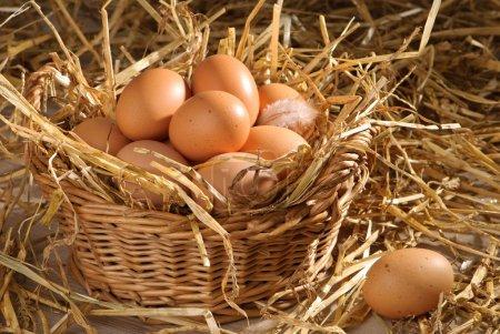 Photo pour Couvée de œufs fraîchement dans cadre de Grange avec paille - image libre de droit