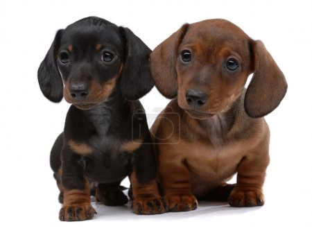 Pair of Smooth-haired Dachshunds isolated on white...