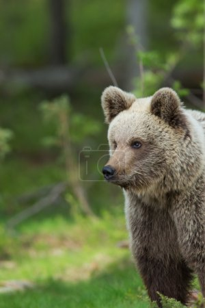 A high resolution image of brown bear in a Finnish...