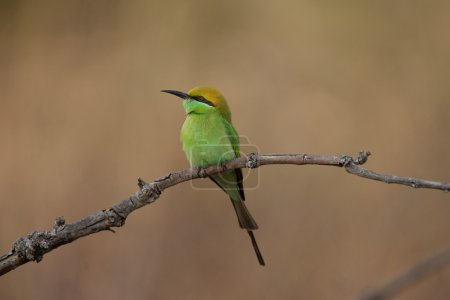 Indian green bee eater