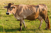 Brown cow gazing on a fresh pasture