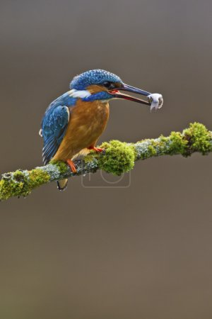 Common Kingfisher perched on branch with a fish