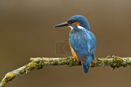 Common Kingfisher perched on a branch