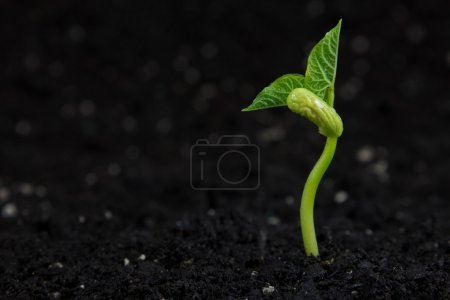 Photo for A small bean plant growing. - Royalty Free Image