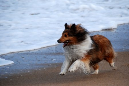 Happy, Running Collie Dog