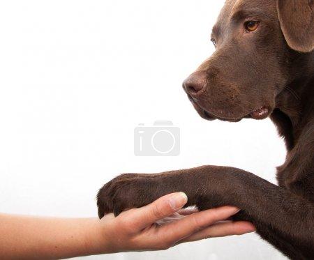 Photo pour Patte de chien et de la main de l'homme faisant une poignée de main - image libre de droit