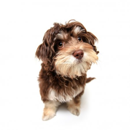Chocolate brown puppy isolated on white background.