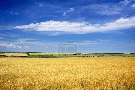 Yellow wheaten field and sky