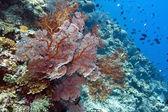 Coral wall off Bunaken island