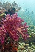 Dendronepthya Soft corals