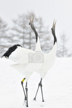 Photo for Two Red-crowned Cranes display courtship. - Royalty Free Image